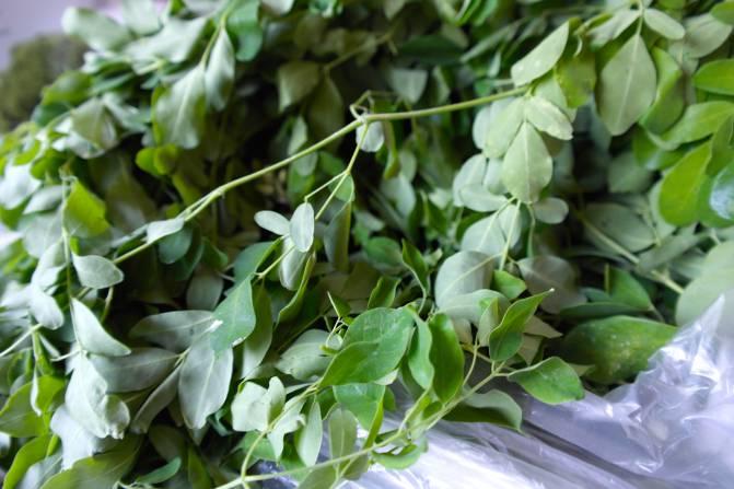 moringa plant in nederland